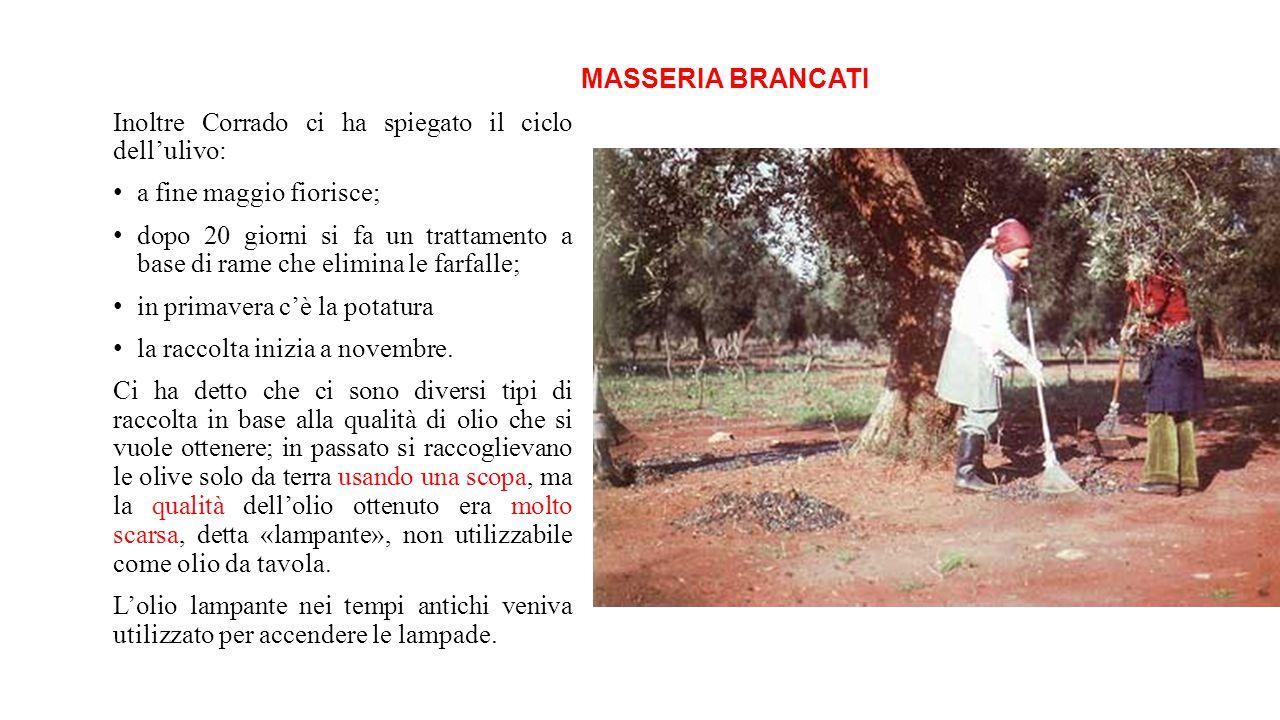 MASSERIA BRANCATI Inoltre Corrado ci ha spiegato il ciclo dell'ulivo: a fine maggio fiorisce; dopo 20 giorni si fa un trattamento a base di rame che e