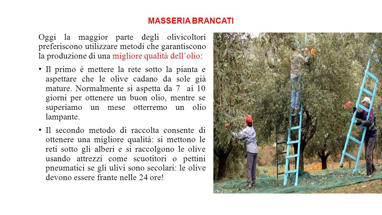 MASSERIA BRANCATI Oggi la maggior parte degli olivicoltori preferiscono utilizzare metodi che garantiscono la produzione di una migliore qualità dell'