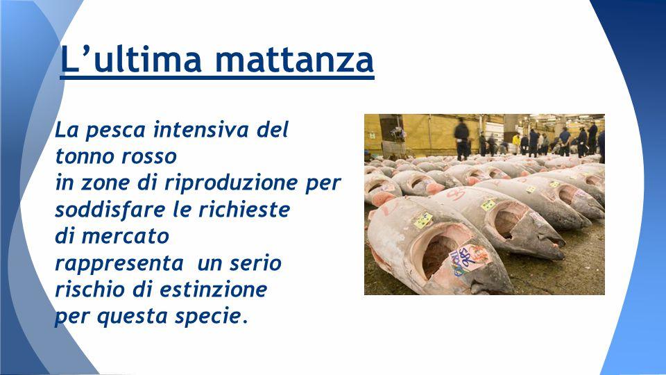 La pesca intensiva del tonno rosso in zone di riproduzione per soddisfare le richieste di mercato rappresenta un serio rischio di estinzione per questa specie.