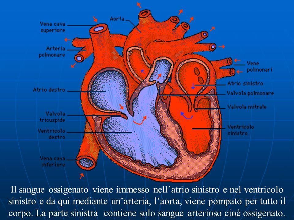 Il sangue entra nell'atrio destro, viene spinto nel ventricolo destro, entra nei polmoni per ossigenarsi (la parte destra del cuore contiene solo sangue venoso ricco di anidride carbonica).