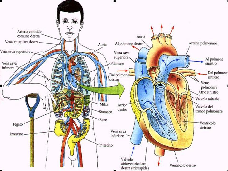 Il cuore è un muscolo involontario piccolo come un pugno.è composto da due atri e da due ventricoli, che comunicano tra loro grazie a delle valvole atri-ventricolari, dette la tricuspide e la bicuspide.