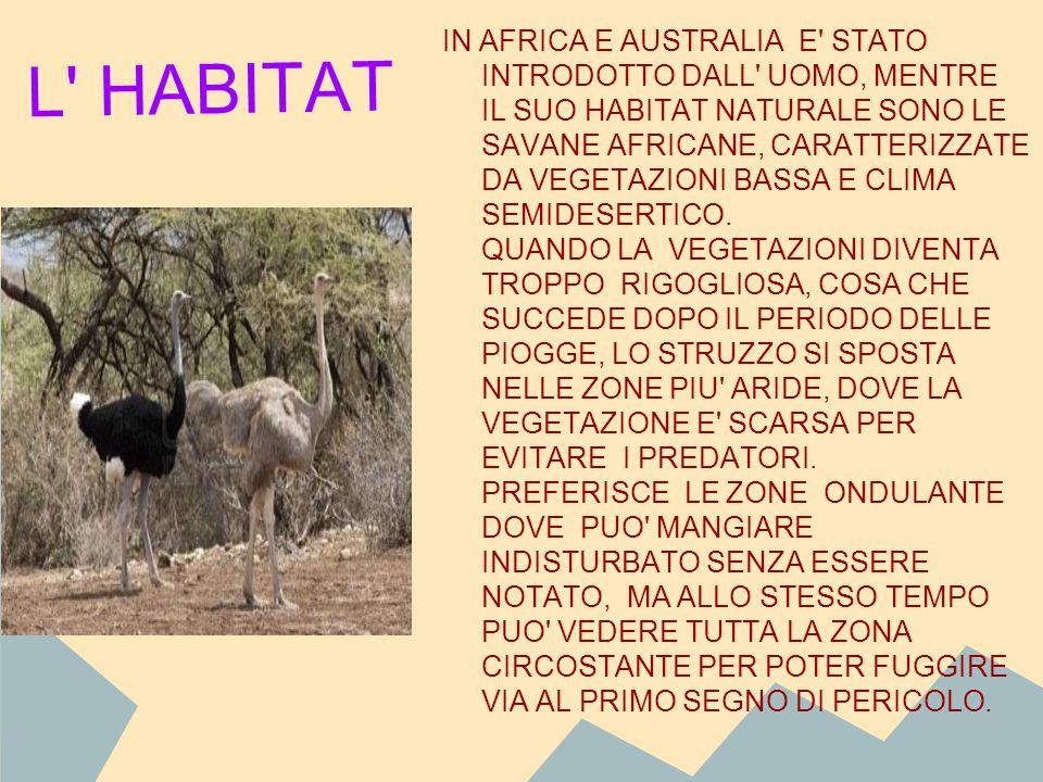 L' HABITAT IN AFRICA E AUSTRALIA E' STATO INTRODOTTO DALL' UOMO, MENTRE IL SUO HABITAT NATURALE SONO LE SAVANE AFRICANE, CARATTERIZZATE DA VEGETAZIONI