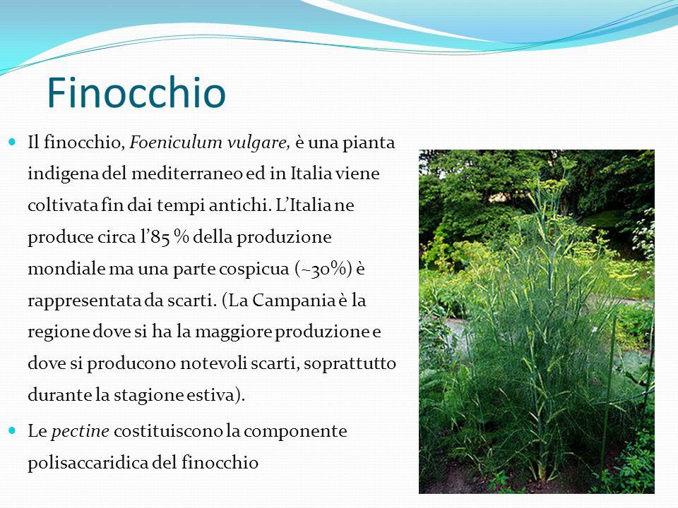 Finocchio Il finocchio, Foeniculum vulgare, è una pianta indigena del mediterraneo ed in Italia viene coltivata fin dai tempi antichi. L'Italia ne pro
