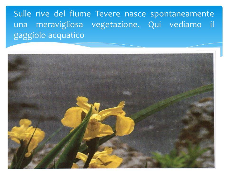 Sulle rive del fiume Tevere nasce spontaneamente una meravigliosa vegetazione. Qui vediamo il gaggiolo acquatico