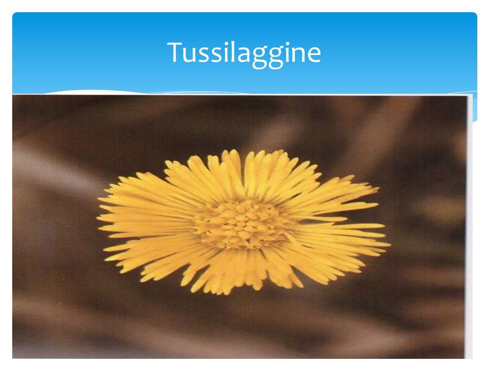 Tussilaggine