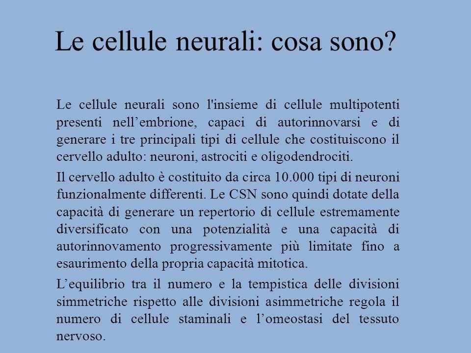 La neurogenesi adulta Alcuni neuroni vengono continuamente generati in due piccole aree celebrali: la zona sottoventricolare (SVZ) che si trova vicino ai ventricoli e la zona sottogranulare (SGZ) dell ippocampo.