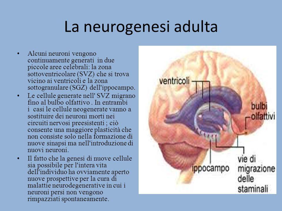 Il fenomeno di genesi avviene solo nelle due piccole aree e il resto del sistema nervoso centrale (SNC) rimane un tessuto perenne.