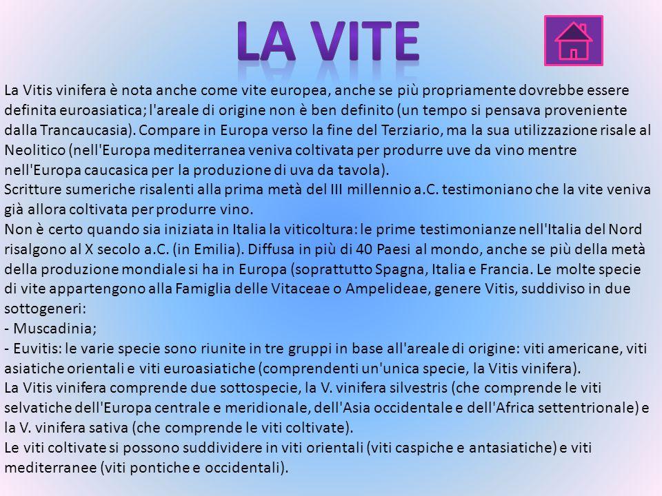 La Vitis vinifera è nota anche come vite europea, anche se più propriamente dovrebbe essere definita euroasiatica; l areale di origine non è ben definito (un tempo si pensava proveniente dalla Trancaucasia).