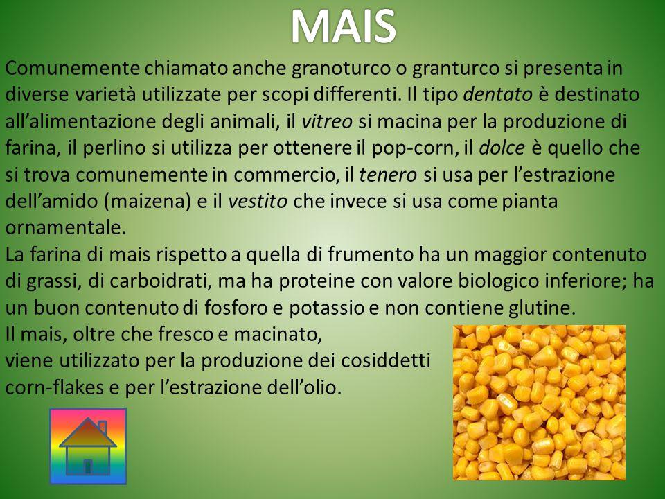 Comunemente chiamato anche granoturco o granturco si presenta in diverse varietà utilizzate per scopi differenti. Il tipo dentato è destinato all'alim