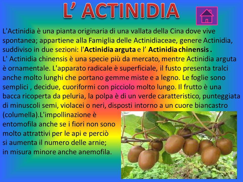 L Actinidia è una pianta originaria di una vallata della Cina dove vive spontanea; appartiene alla Famiglia delle Actinidiaceae, genere Actinidia, suddiviso in due sezioni: l Actinidia arguta e l' Actinidia chinensis.