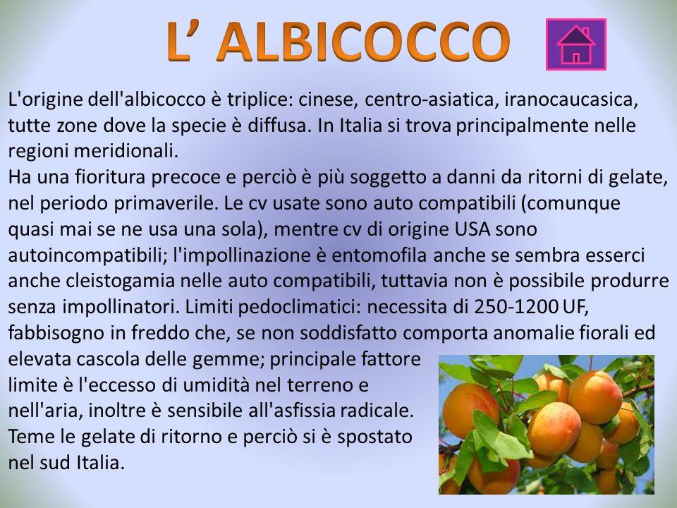 L'origine dell'albicocco è triplice: cinese, centro-asiatica, iranocaucasica, tutte zone dove la specie è diffusa. In Italia si trova principalmente n