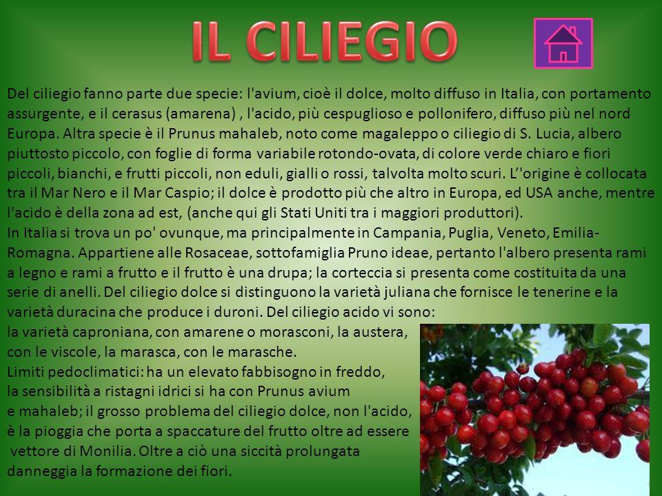 Del ciliegio fanno parte due specie: l avium, cioè il dolce, molto diffuso in Italia, con portamento assurgente, e il cerasus (amarena), l acido, più cespuglioso e pollonifero, diffuso più nel nord Europa.