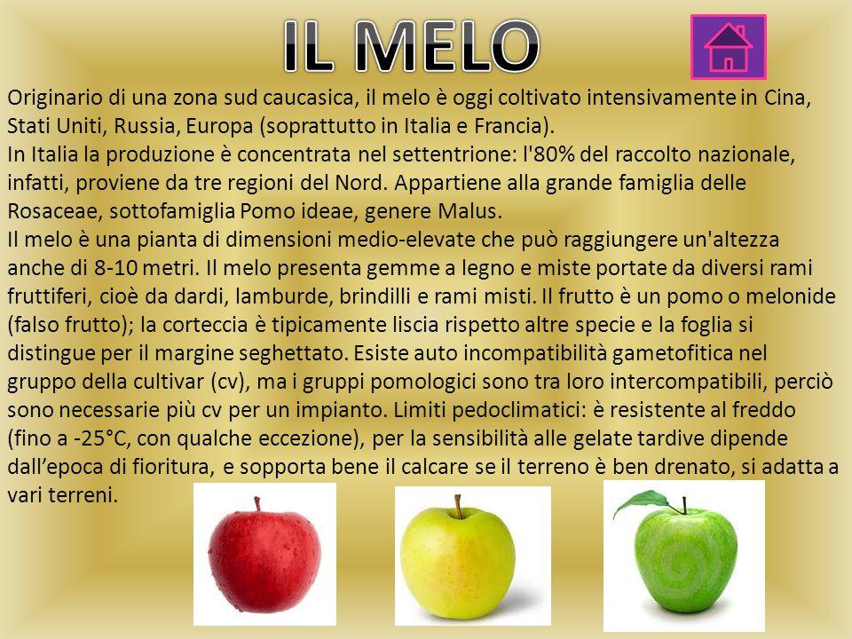 Originario di una zona sud caucasica, il melo è oggi coltivato intensivamente in Cina, Stati Uniti, Russia, Europa (soprattutto in Italia e Francia).