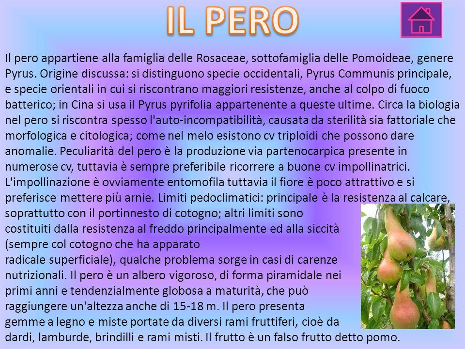 Il pero appartiene alla famiglia delle Rosaceae, sottofamiglia delle Pomoideae, genere Pyrus.