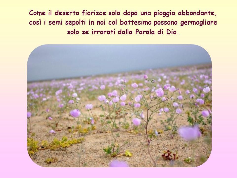 Come il deserto fiorisce solo dopo una pioggia abbondante, così i semi sepolti in noi col battesimo possono germogliare solo se irrorati dalla Parola di Dio.