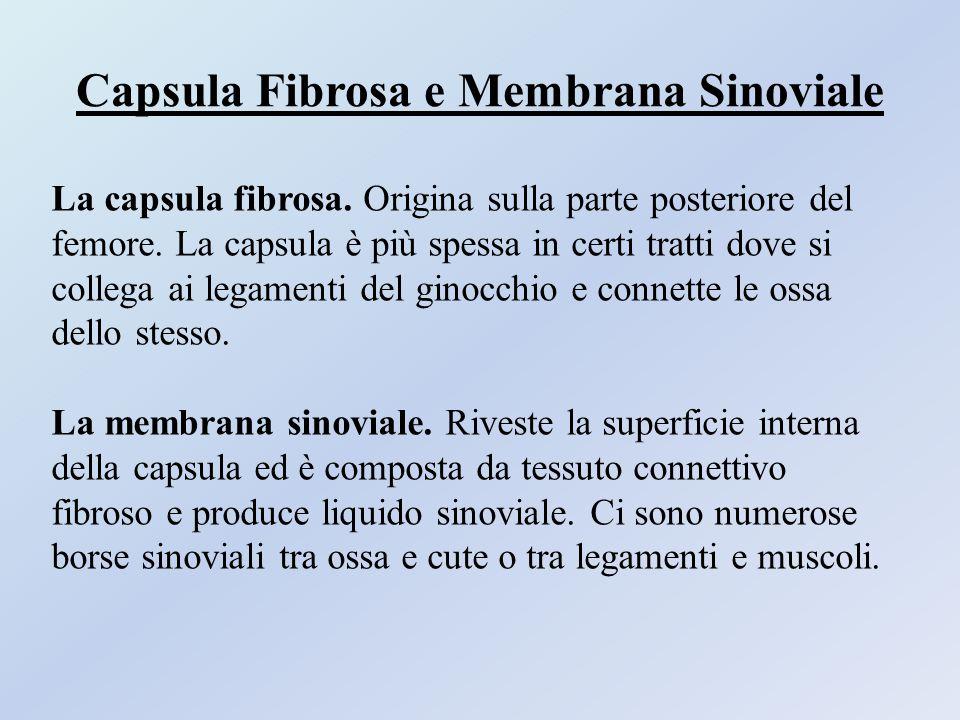 Capsula Fibrosa e Membrana Sinoviale La capsula fibrosa. Origina sulla parte posteriore del femore. La capsula è più spessa in certi tratti dove si co