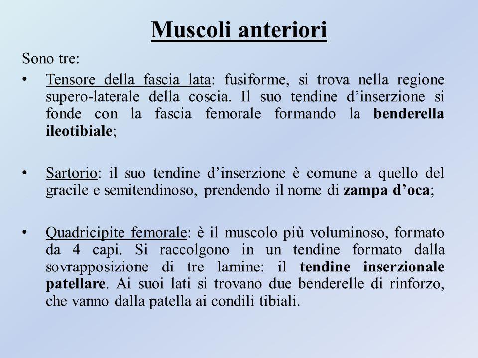 Muscoli anteriori Sono tre: Tensore della fascia lata: fusiforme, si trova nella regione supero-laterale della coscia. Il suo tendine d'inserzione si