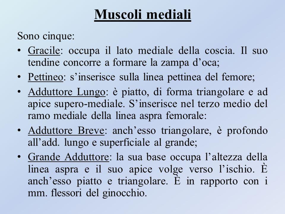 Muscoli mediali Sono cinque: Gracile: occupa il lato mediale della coscia. Il suo tendine concorre a formare la zampa d'oca; Pettineo: s'inserisce sul