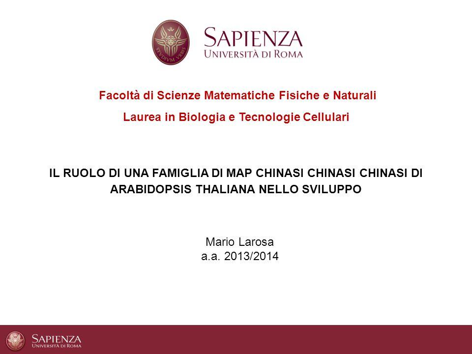 Facoltà di Scienze Matematiche Fisiche e Naturali Laurea in Biologia e Tecnologie Cellulari IL RUOLO DI UNA FAMIGLIA DI MAP CHINASI CHINASI CHINASI DI