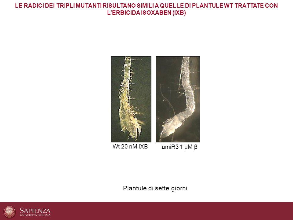 LE RADICI DEI TRIPLI MUTANTI RISULTANO SIMILI A QUELLE DI PLANTULE WT TRATTATE CON L'ERBICIDA ISOXABEN (IXB) Wt 20 nM IXB amiR3 1 μM β Plantule di set