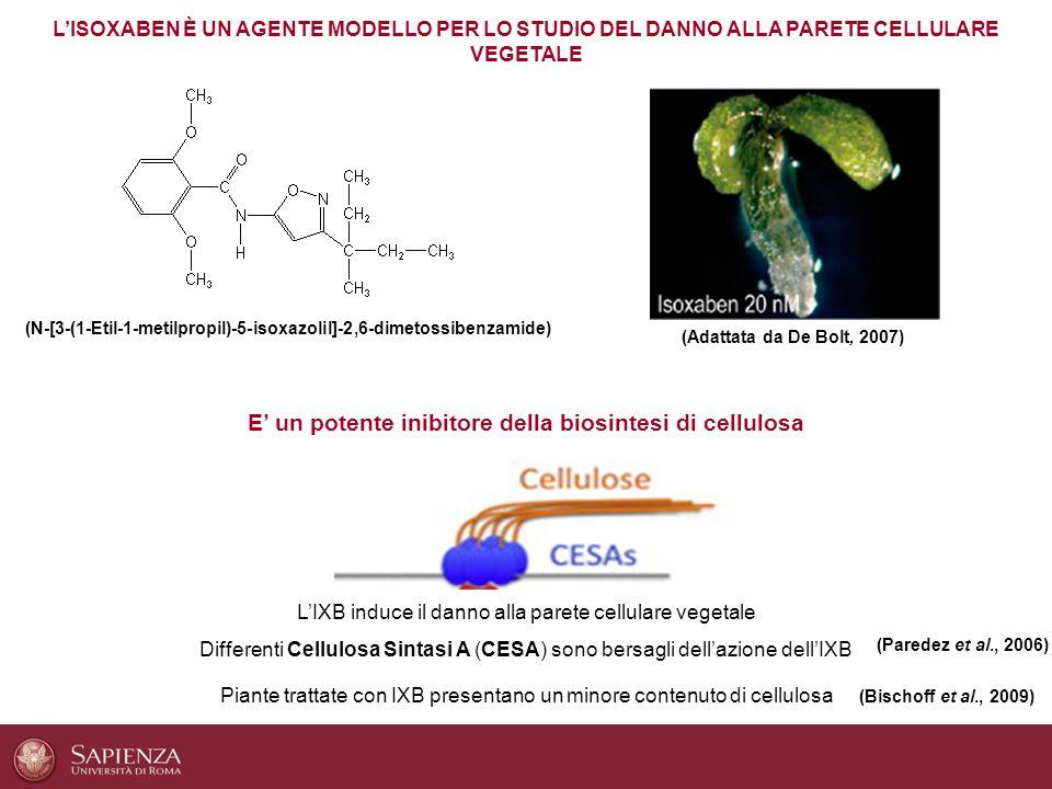 (N-[3-(1-Etil-1-metilpropil)-5-isoxazolil]-2,6-dimetossibenzamide) L'ISOXABEN È UN AGENTE MODELLO PER LO STUDIO DEL DANNO ALLA PARETE CELLULARE VEGETA