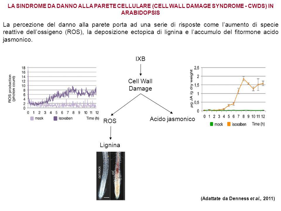 LA SINDROME DA DANNO ALLA PARETE CELLULARE (CELL WALL DAMAGE SYNDROME - CWDS) IN ARABIDOPSIS (Adattate da Denness et al., 2011) La percezione del dann