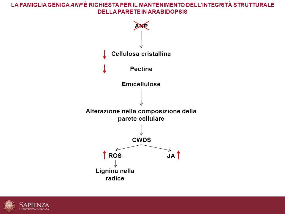 LA FAMIGLIA GENICA ANP È RICHIESTA PER IL MANTENIMENTO DELL'INTEGRITÀ STRUTTURALE DELLA PARETE IN ARABIDOPSIS ANP Cellulosa cristallina Pectine Emicel