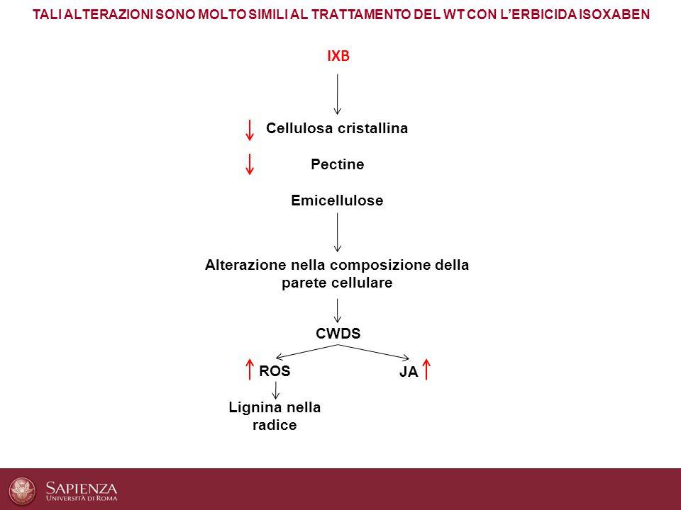 Cellulosa cristallina Pectine Emicellulose Alterazione nella composizione della parete cellulare ROS JA Lignina nella radice CWDS IXB TALI ALTERAZIONI