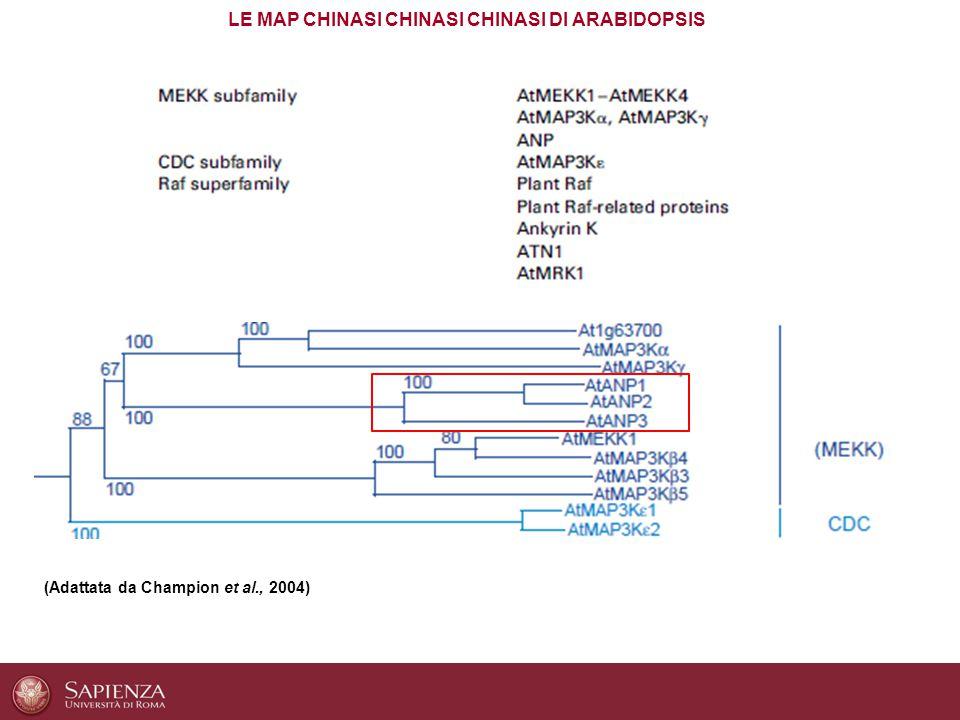 La famiglia genica ANP è costituita da tre membri: ANP1, ANP2 ed ANP3 Sono ridondanti funzionalmente: singoli mutanti knockout (KO) non differiscono dal WT, mentre solo il doppio KO anp2 anp3 mostra evidenti difetti nello sviluppo e nella citochinesi Il triplo mutante KO è letale: le ANP sono COLLETTIVAMENTE ESSENZIALI nello sviluppo della pianta Sono stati identificati per la loro omologia con NUCLEUS– AND PHRAGMOPLAST-ASSOCIATED PROTEIN KINASE1 (NPK1) di tabacco LA FAMIGLIA DELLE ARABIDOPSIS NPK1-RELATED PROTEIN KINASE (ANP) (Adattata da Krysan et al., 2002)