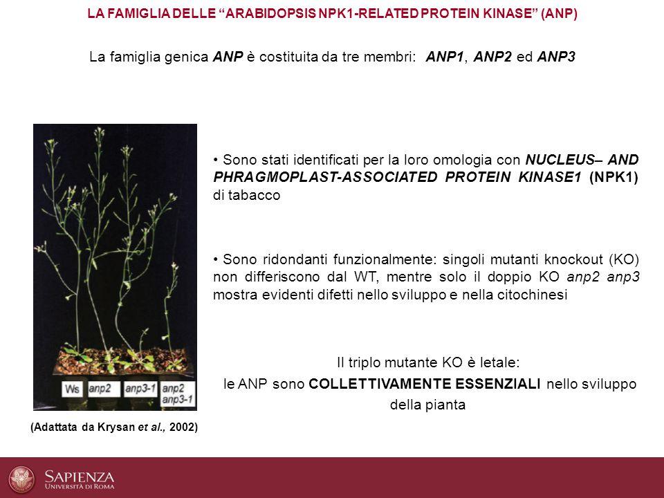 CONCLUSIONI La famiglia genica ANP è richiesta per il mantenimento dell'integrità strutturale della parete in Arabidopsis I tripli mutanti anp, al pari delle piante WT trattate con IXB, mostrano la sindrome da danno alla parete Le ANP sono richieste per la risposta al trattamento con l'IXB Le ANP sono le prime MAPKKK note per esser coinvolte nel mantenimento dell'integrità della parete cellulare vegetale