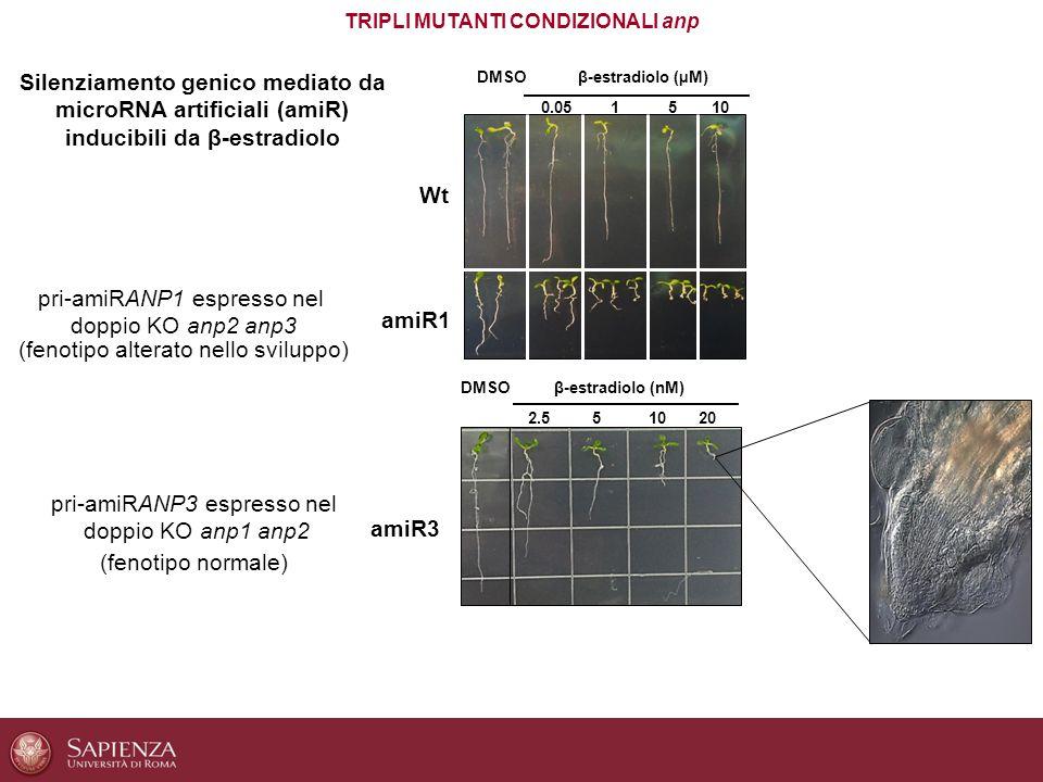 amiR1 0.051510 WtWt DMSO 2.551020 β-estradiolo (nM) amiR3 DMSOβ-estradiolo (µM) TRIPLI MUTANTI CONDIZIONALI anp pri-amiRANP1 espresso nel doppio KO an