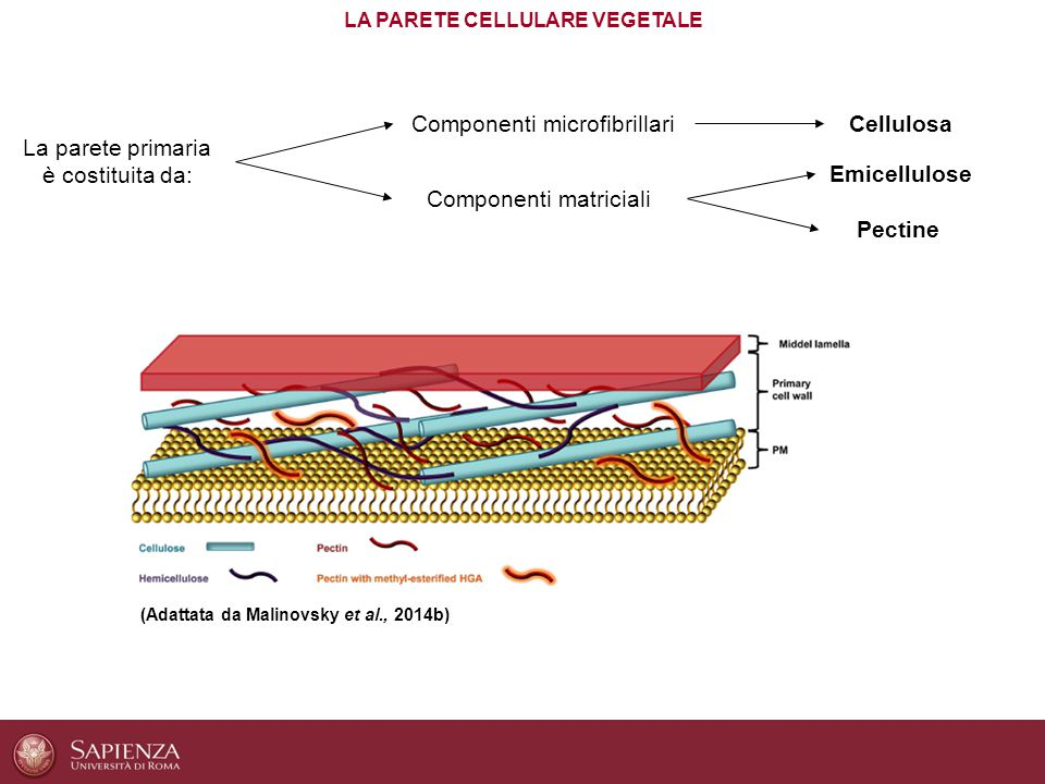 LA PARETE CELLULARE VEGETALE (Adattata da Malinovsky et al., 2014b) La parete primaria è costituita da: Componenti microfibrillari Componenti matricia