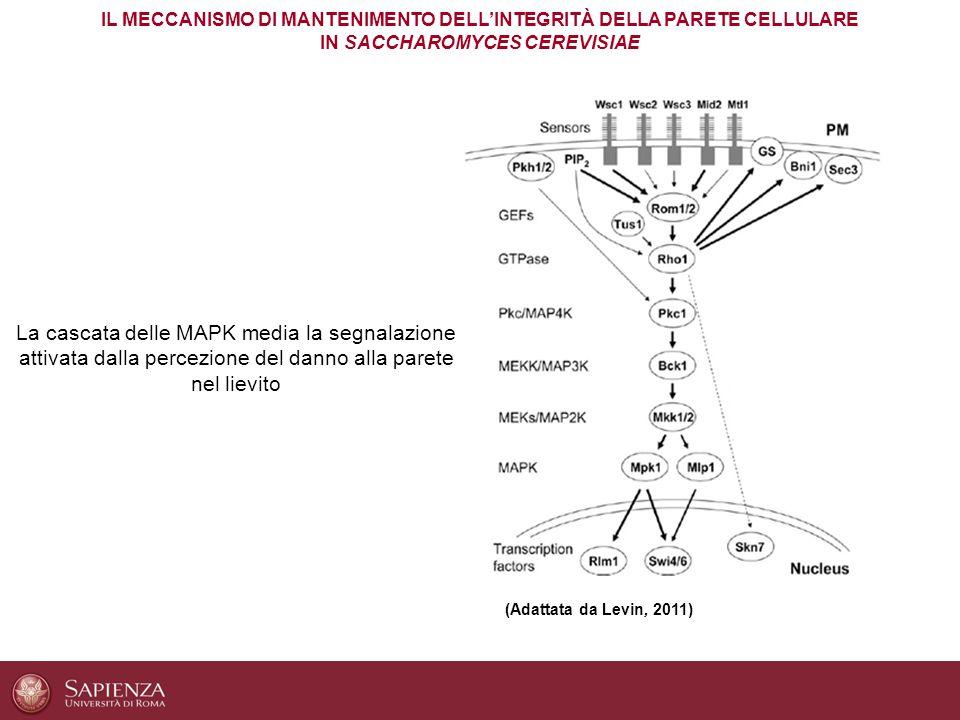 (Adattata da Levin, 2011) La cascata delle MAPK media la segnalazione attivata dalla percezione del danno alla parete nel lievito IL MECCANISMO DI MAN