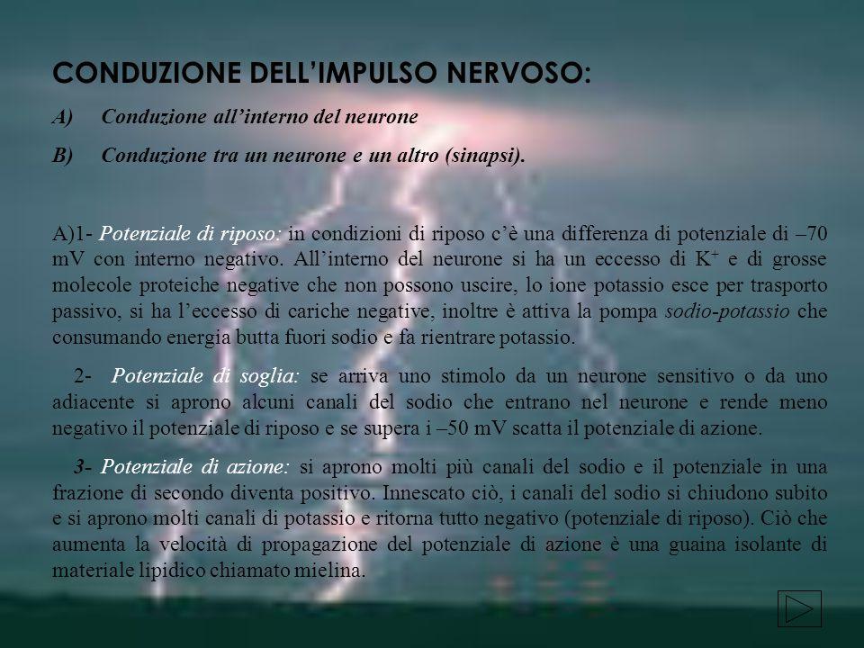 CONDUZIONE DELL'IMPULSO NERVOSO: A) Conduzione all'interno del neurone B) Conduzione tra un neurone e un altro (sinapsi).