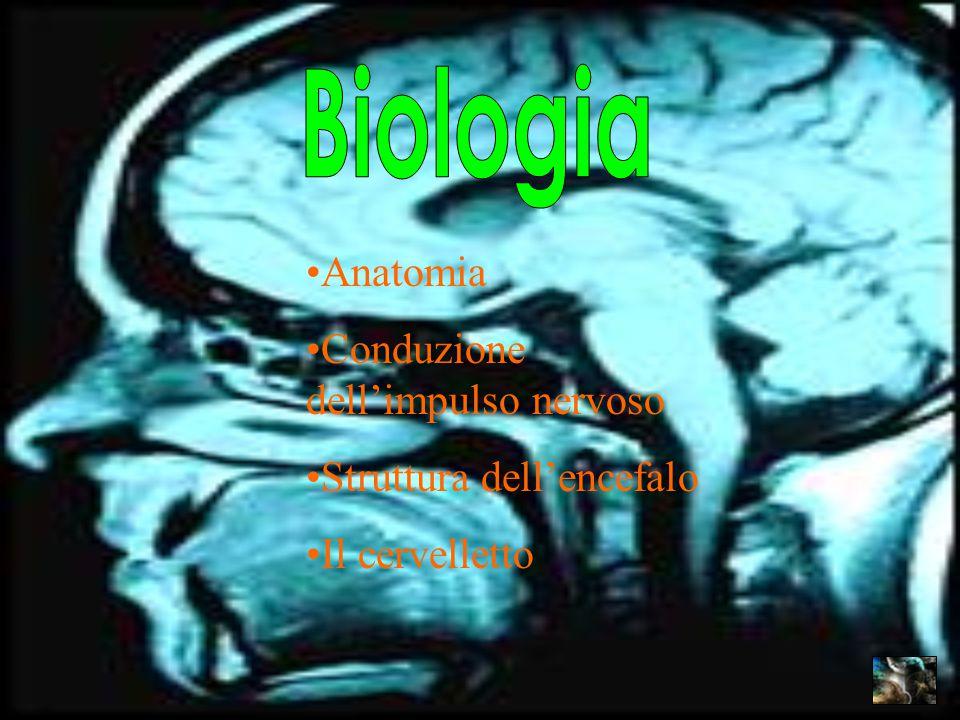 Anatomia Conduzione dell'impulso nervoso Struttura dell'encefalo Il cervelletto