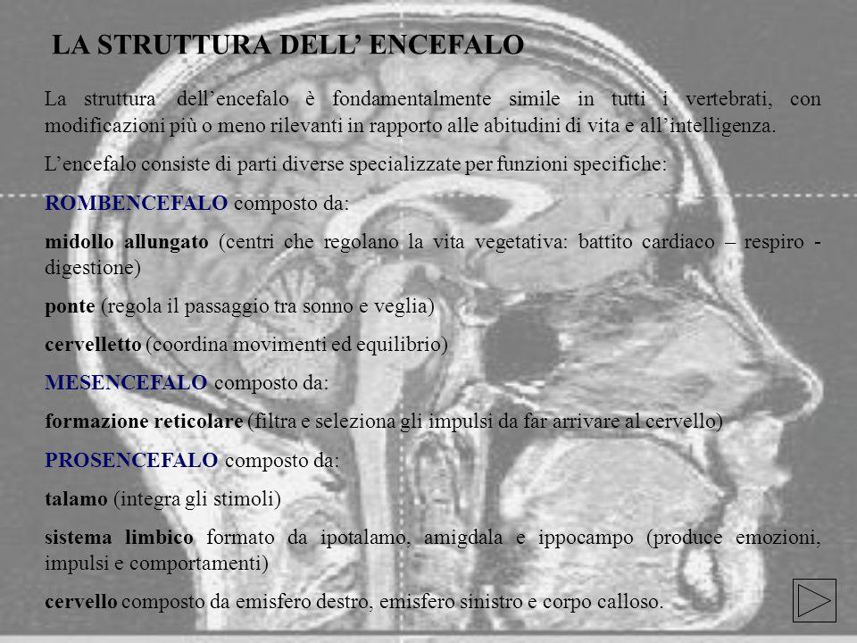 LA STRUTTURA DELL' ENCEFALO La struttura dell'encefalo è fondamentalmente simile in tutti i vertebrati, con modificazioni più o meno rilevanti in rapporto alle abitudini di vita e all'intelligenza.