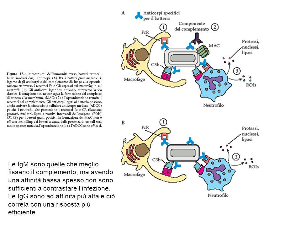 Le IgM sono quelle che meglio fissano il complemento, ma avendo una affinità bassa spesso non sono sufficienti a contrastare l'infezione. Le IgG sono