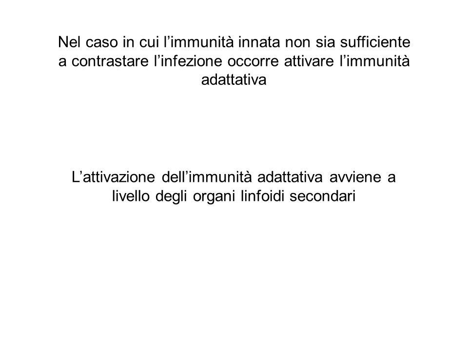 Nel caso in cui l'immunità innata non sia sufficiente a contrastare l'infezione occorre attivare l'immunità adattativa L'attivazione dell'immunità adattativa avviene a livello degli organi linfoidi secondari