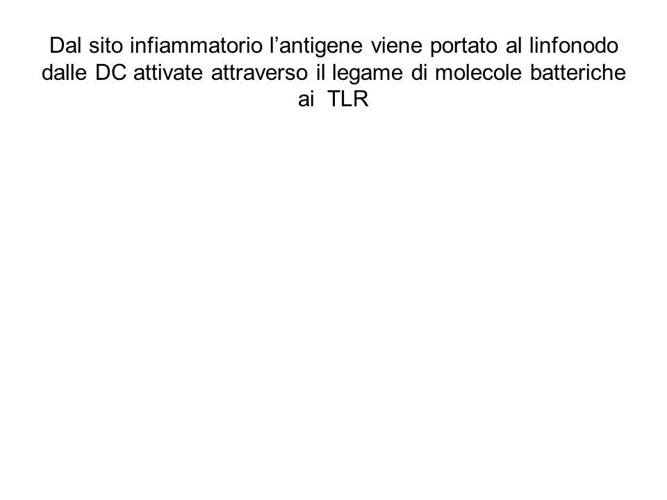 Dal sito infiammatorio l'antigene viene portato al linfonodo dalle DC attivate attraverso il legame di molecole batteriche ai TLR