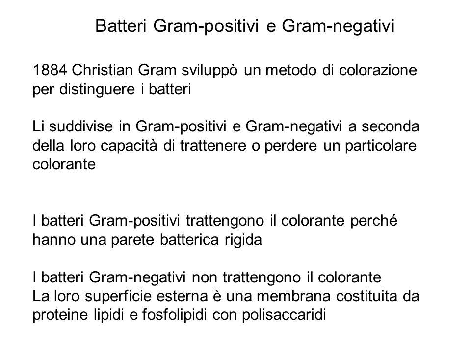 Batteri Gram-positivi e Gram-negativi 1884 Christian Gram sviluppò un metodo di colorazione per distinguere i batteri Li suddivise in Gram-positivi e Gram-negativi a seconda della loro capacità di trattenere o perdere un particolare colorante I batteri Gram-positivi trattengono il colorante perché hanno una parete batterica rigida I batteri Gram-negativi non trattengono il colorante La loro superficie esterna è una membrana costituita da proteine lipidi e fosfolipidi con polisaccaridi