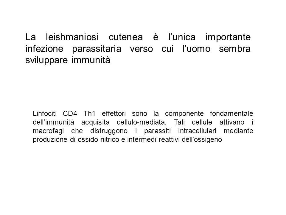 La leishmaniosi cutenea è l'unica importante infezione parassitaria verso cui l'uomo sembra sviluppare immunità Linfociti CD4 Th1 effettori sono la componente fondamentale dell'immunità acquisita cellulo-mediata.