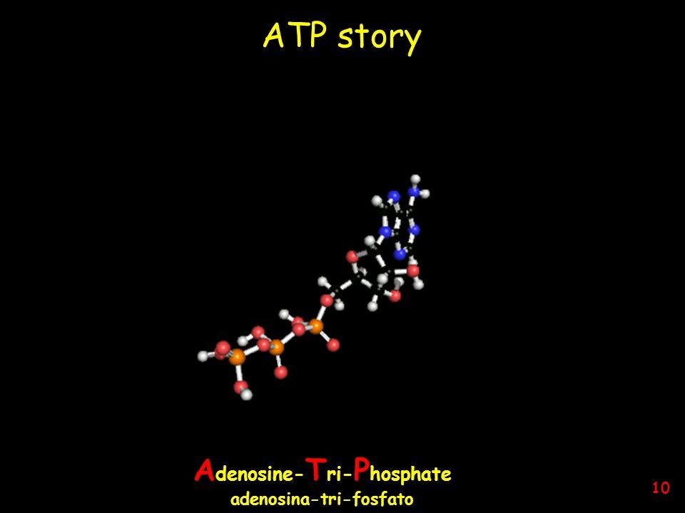 ATP story L'energia giornaliera di cui abbiamo bisogno deriva dalla reazione ATP —› ADP + P Per una vita normale (senza attività sportive!) abbiamo bisogno di 50 - 75 Kg di ATP Nel corpo umano, mediamente, si trovano 50 g di ATP; ciascuna molecola di ATP partecipa alla reazione 1.000 – 1.500 volte al giorno.