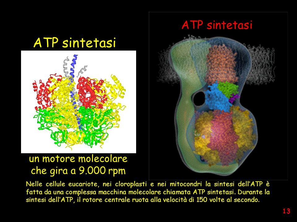 Nelle cellule eucariote, nei cloroplasti e nei mitocondri la sintesi dell'ATP è fatta da una complessa macchina molecolare chiamata ATP sintetasi.