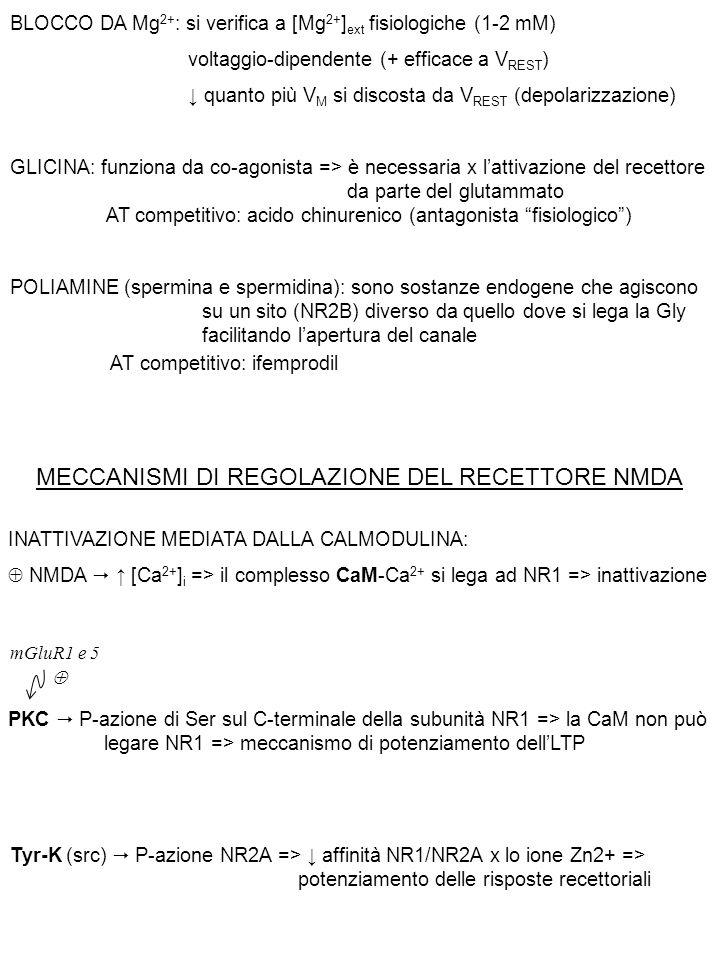 BLOCCO DA Mg 2+ : si verifica a [Mg 2+ ] ext fisiologiche (1-2 mM) voltaggio-dipendente (+ efficace a V REST ) ↓ quanto più V M si discosta da V REST (depolarizzazione) GLICINA: funziona da co-agonista => è necessaria x l'attivazione del recettore da parte del glutammato AT competitivo: acido chinurenico (antagonista fisiologico ) POLIAMINE (spermina e spermidina): sono sostanze endogene che agiscono su un sito (NR2B) diverso da quello dove si lega la Gly facilitando l'apertura del canale AT competitivo: ifemprodil INATTIVAZIONE MEDIATA DALLA CALMODULINA:  NMDA  ↑ [Ca 2+ ] i => il complesso CaM-Ca 2+ si lega ad NR1 => inattivazione PKC  P-azione di Ser sul C-terminale della subunità NR1 => la CaM non può legare NR1 => meccanismo di potenziamento dell'LTP mGluR1 e 5  Tyr-K (src)  P-azione NR2A => ↓ affinità NR1/NR2A x lo ione Zn2+ => potenziamento delle risposte recettoriali MECCANISMI DI REGOLAZIONE DEL RECETTORE NMDA