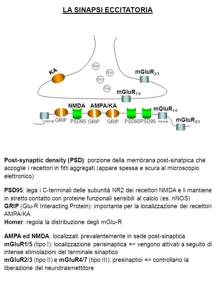 LA SINAPSI ECCITATORIA Glu GRIP Homer GRIP PSD95 KA mGluR 2/3 mGluR 7/4 mGluR 1/5 mGluR 2/3 NMDAAMPA/KA Post-synaptic density (PSD): porzione della membrana post-sinatpica che accoglie i recettori in fitti aggregati (appare spessa e scura al microscopio elettronico) PSD95: lega i C-terminali delle subunità NR2 dei recettori NMDA e li mantiene in stretto contatto con proteine funzionali sensibili al calcio (es.
