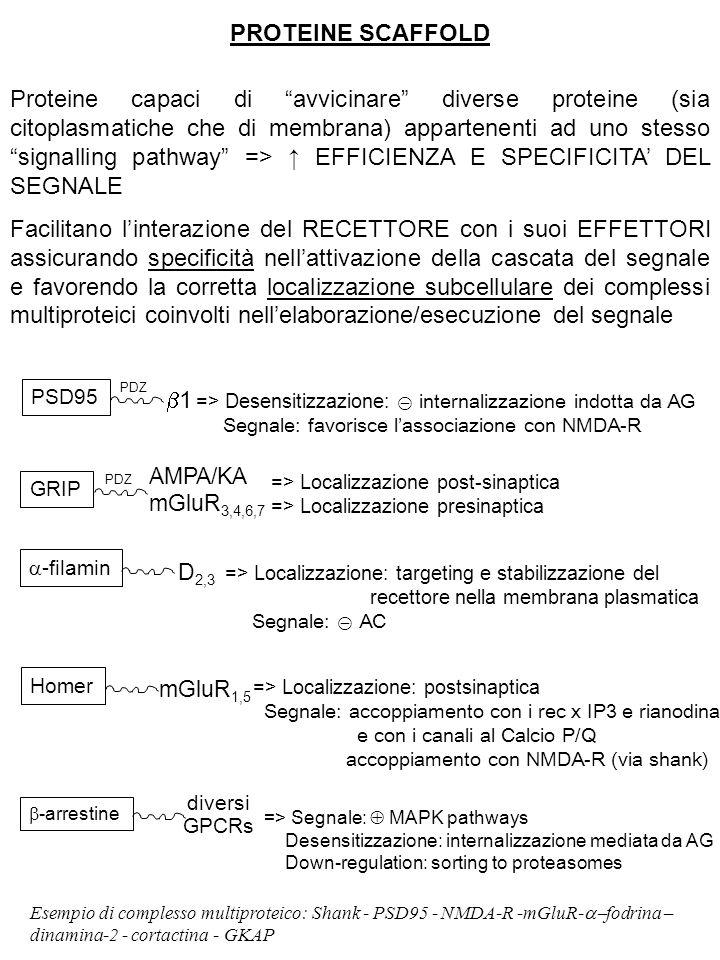 PROTEINE SCAFFOLD Proteine capaci di avvicinare diverse proteine (sia citoplasmatiche che di membrana) appartenenti ad uno stesso signalling pathway => ↑ EFFICIENZA E SPECIFICITA' DEL SEGNALE Facilitano l'interazione del RECETTORE con i suoi EFFETTORI assicurando specificità nell'attivazione della cascata del segnale e favorendo la corretta localizzazione subcellulare dei complessi multiproteici coinvolti nell'elaborazione/esecuzione del segnale PSD95 PDZ 11 => Desensitizzazione: ⊝ internalizzazione indotta da AG Segnale: favorisce l'associazione con NMDA-R GRIP PDZ AMPA/KA mGluR 3,4,6,7 => Localizzazione post-sinaptica => Localizzazione presinaptica  -filamin D 2,3 => Localizzazione: targeting e stabilizzazione del recettore nella membrana plasmatica Segnale: ⊝ AC Homer mGluR 1,5 => Localizzazione: postsinaptica Segnale: accoppiamento con i rec x IP3 e rianodina e con i canali al Calcio P/Q accoppiamento con NMDA-R (via shank)  -arrestine diversi GPCRs => Segnale:  MAPK pathways Desensitizzazione: internalizzazione mediata da AG Down-regulation: sorting to proteasomes Esempio di complesso multiproteico: Shank - PSD95 - NMDA-R -mGluR-  fodrina – dinamina-2 - cortactina - GKAP