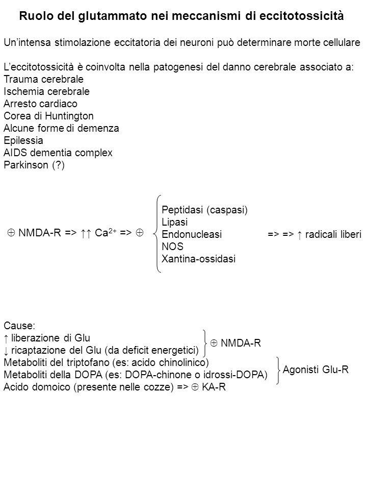 Ruolo del glutammato nei meccanismi di eccitotossicità Un'intensa stimolazione eccitatoria dei neuroni può determinare morte cellulare L'eccitotossicità è coinvolta nella patogenesi del danno cerebrale associato a: Trauma cerebrale Ischemia cerebrale Arresto cardiaco Corea di Huntington Alcune forme di demenza Epilessia AIDS dementia complex Parkinson (?)  NMDA-R => ↑↑ Ca 2+ =>  Peptidasi (caspasi) Lipasi Endonucleasi => => ↑ radicali liberi NOS Xantina-ossidasi Cause: ↑ liberazione di Glu ↓ ricaptazione del Glu (da deficit energetici) Metaboliti del triptofano (es: acido chinolinico) Metaboliti della DOPA (es: DOPA-chinone o idrossi-DOPA) Acido domoico (presente nelle cozze) =>  KA-R  NMDA-R Agonisti Glu-R