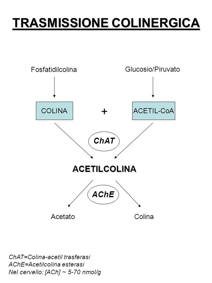 TRASMISSIONE COLINERGICA Fosfatidilcolina Glucosio/Piruvato COLINAACETIL-CoA ACETILCOLINA + ChAT AChE AcetatoColina ChAT=Colina-acetil trasferasi AChE=Acetilcolina esterasi Nel cervello: [ACh] ~ 5-70 nmol/g