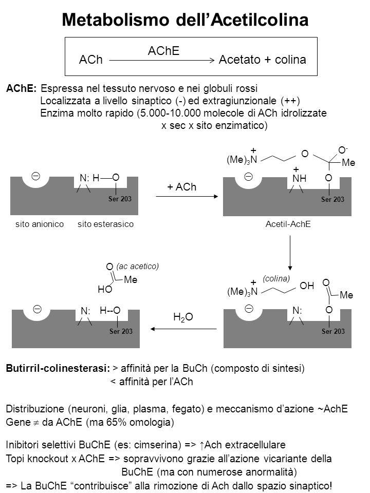 Metabolismo dell'Acetilcolina ACh Acetato + colina AChE AChE: Espressa nel tessuto nervoso e nei globuli rossi Localizzata a livello sinaptico (-) ed extragiunzionale (++) Enzima molto rapido (5.000-10.000 molecole di ACh idrolizzate x sec x sito enzimatico) sito anionico sito esterasico Acetil-AchE ⊝ N:H O Ser 203 + ACh (Me) 3 N O ⊝ NH O Ser 203 + + O-O- Me (Me) 3 N OH ⊝ N: O Ser 203 + O Me (colina) ⊝ N: H--O Ser 203 O Me H2OH2O HO (ac acetico) Butirril-colinesterasi: > affinità per la BuCh (composto di sintesi) < affinità per l'ACh Distribuzione (neuroni, glia, plasma, fegato) e meccanismo d'azione ~AchE Gene  da AChE (ma 65% omologia) Inibitori selettivi BuChE (es: cimserina) => ↑Ach extracellulare Topi knockout x AChE => sopravvivono grazie all'azione vicariante della BuChE (ma con numerose anormalità) => La BuChE contribuisce alla rimozione di Ach dallo spazio sinaptico!