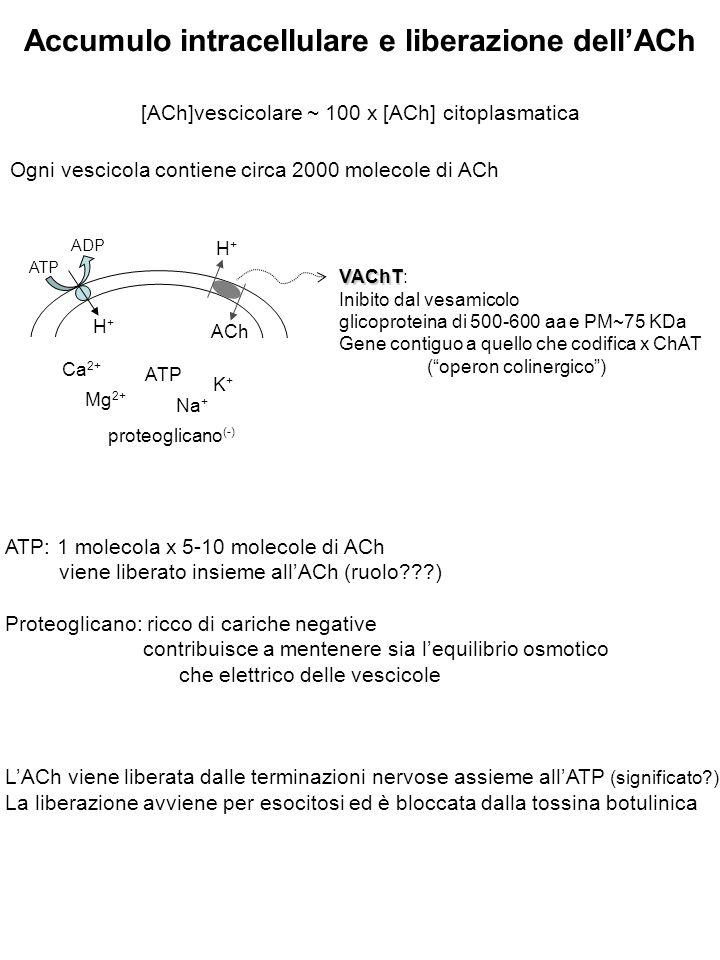 Accumulo intracellulare e liberazione dell'ACh [ACh]vescicolare ~ 100 x [ACh] citoplasmatica Ogni vescicola contiene circa 2000 molecole di ACh ATP ADP H+H+ H+H+ ACh Ca 2+ Mg 2+ Na + K+K+ ATP proteoglicano (-) VAChT VAChT: Inibito dal vesamicolo glicoproteina di 500-600 aa e PM~75 KDa Gene contiguo a quello che codifica x ChAT ( operon colinergico ) ATP: 1 molecola x 5-10 molecole di ACh viene liberato insieme all'ACh (ruolo???) Proteoglicano: ricco di cariche negative contribuisce a mentenere sia l'equilibrio osmotico che elettrico delle vescicole L'ACh viene liberata dalle terminazioni nervose assieme all'ATP (significato?) La liberazione avviene per esocitosi ed è bloccata dalla tossina botulinica